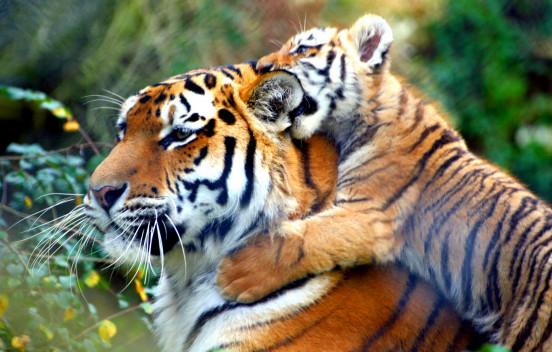 Uniroyal Tires поддержит WWF и диких тигров